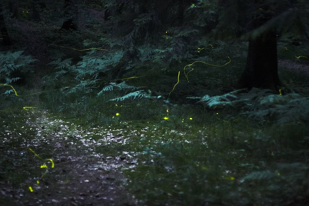 Thanks to Quit007, who posted this time lapsed photo of fireflies on Wikipedia Commons.