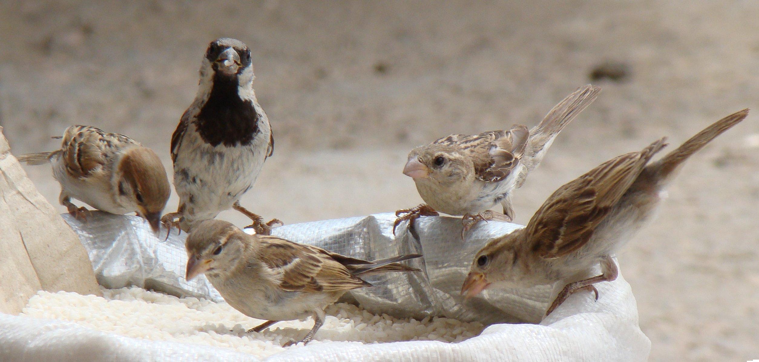 sparrows5