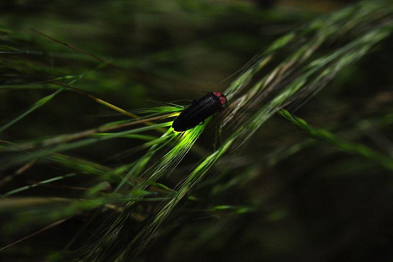 Firefly in grass