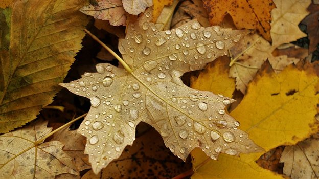 Picture from http://maxpixel.freegreatpicture.com/Maple-Leaf-Yellow-Leaves-Autumn-1890284